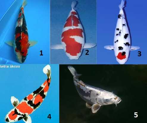 Cara Memilih Ikan Koi Yang Berkualitas