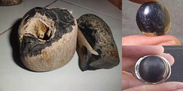 Betuk Batu Fosil Kelor