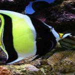Ikan Hisas Regal Tang