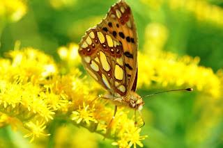 merupakan serangga yang tergolong ke dalam ordo Lepidoptera  7 Jenis Makanan Kupu-Kupu