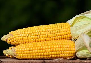 Nasi jagung memang tidak termasuk kuliner pokok sebagian besar masyarakat Indonesia Manfaat Nasi Jagung bagi Ibu Hamil, Sungguh luar Biasa !!