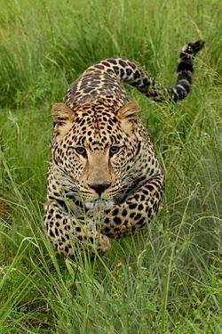 ialah salah satu dari empat kucing besar 7 Fakta Menarik Macan Tutul