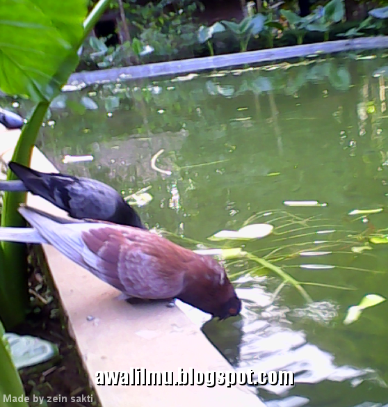 Foto Burung Merpati Sedang Minum di Pinggir  Foto Burung Merpati Sedang Minum di Pinggir Kolam