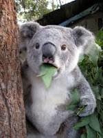 Koala ialah binatang khas australia yang sangat populer di dunia alasannya ialah keluacuan dan keimu Koala Jantan Berteriak Untuk Menghindari Konflik
