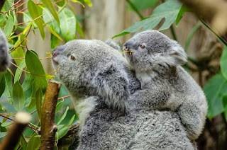 Hewan arboreal yaitu binatang yang sebagian besar hidupnya dihabiskan di atas pepohonan Pengertian Hewan Arboreal, Ciri, dan Contohnya