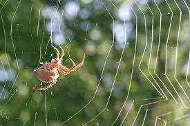 laba ialah benda yag sangat menarik alasannya jaring tersebut sangat Cara Laba-laba Membuat Jaring