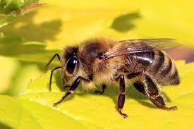 Madu intinya yakni gula yang terdiri dari beberapa materi terutama fruktosa dan gluk Cara Lebah Membuat Madu