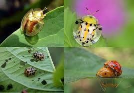 Untuk salah satu kelompok paling dicintai dan berwarna  Warna kumbang Menunjukkan tingkat racun mereka