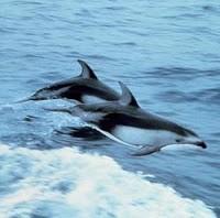 lumba yaitu salah satu binatang bahari yang sangat populer Lumba-Lumba Mamalia Laut Yang paling Cerdas